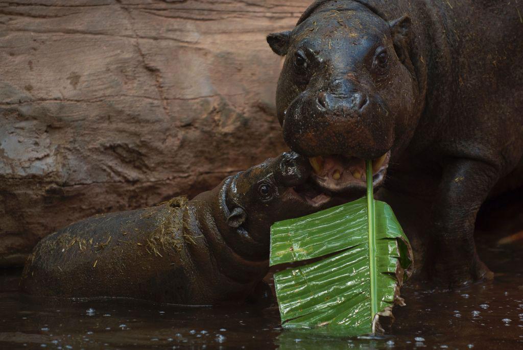 hippo-angry