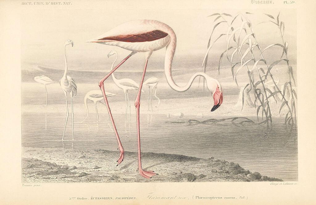 flamingo-tongue-13275-72371