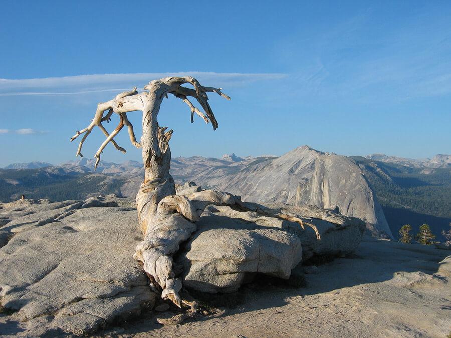 jeffrey-pine-at-yosemite-national-park-70725.jpg
