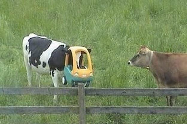 stuck-cow.jpg