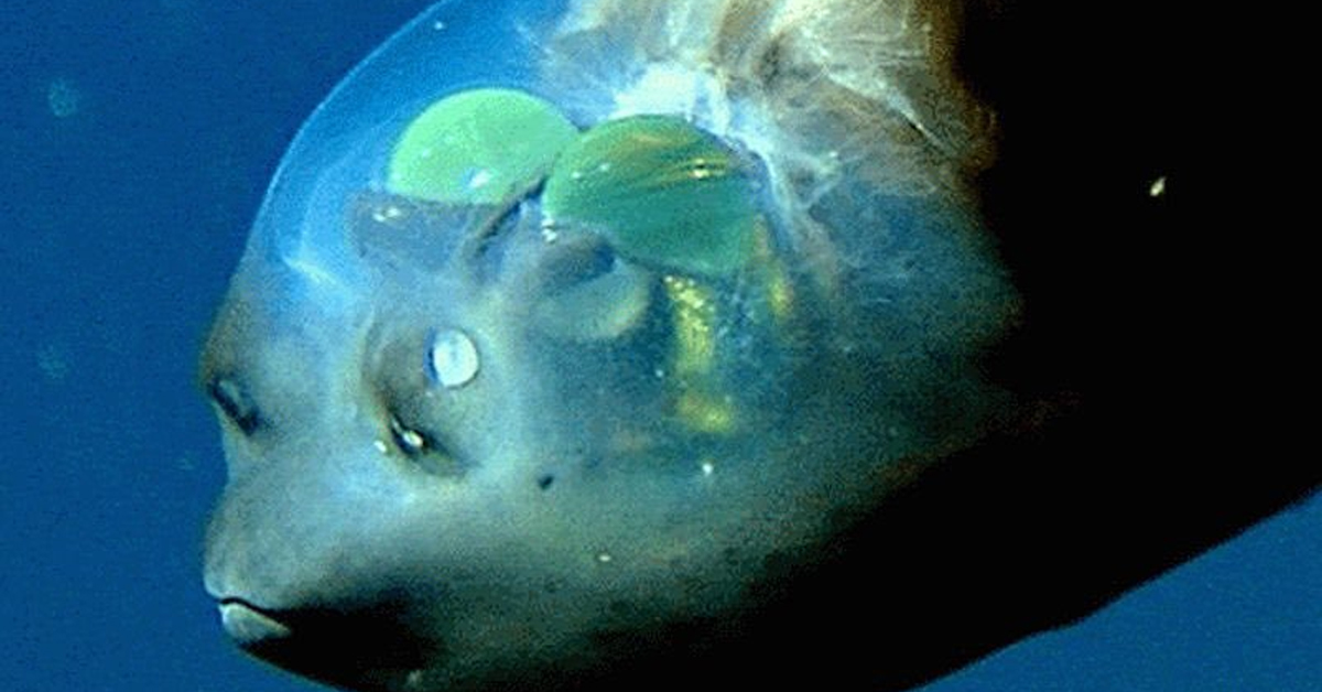 barreleye fish with two green spots on its head swimming in the ocean