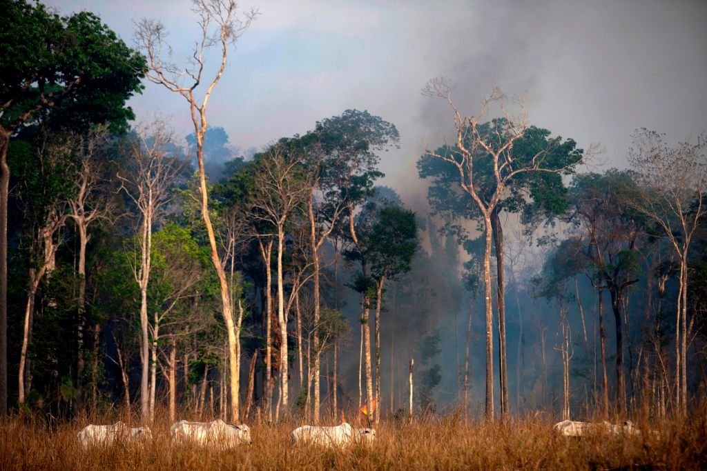Cows graze in a clearing in front of trees submerged in smoke.