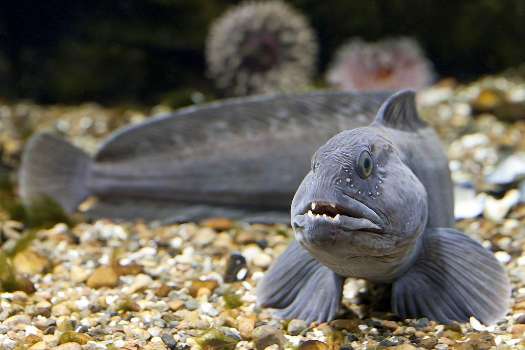 a grey atlantic wolffish swimming by some pebbles