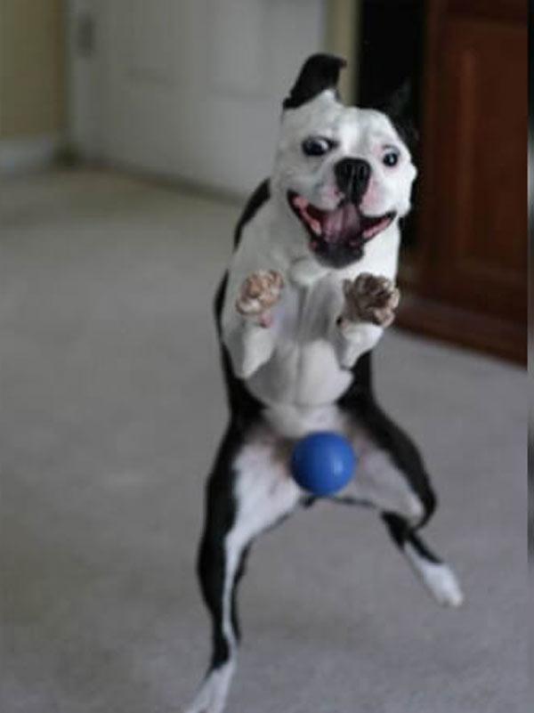 ball-dog