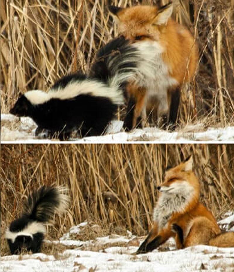 fox fail