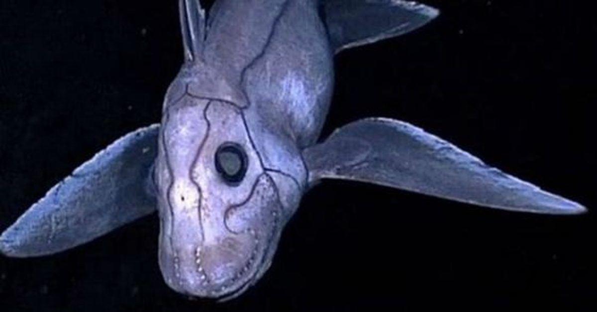 a grey and purple ghost shark against a black background