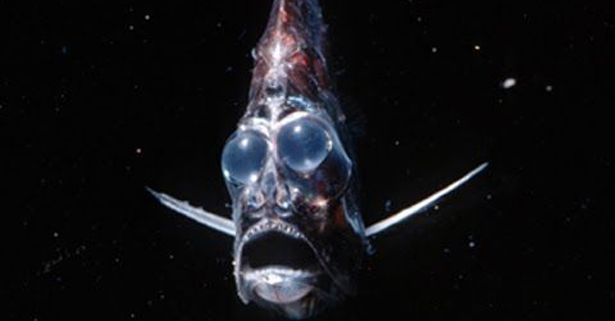 a hatchetfish with a wide mouth and large blue bulbs swimming in the ocean