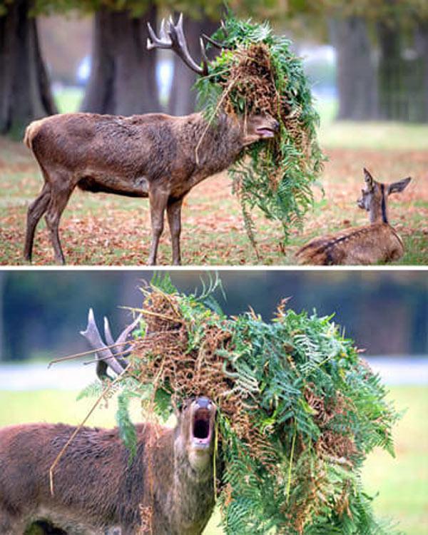 rein-deer