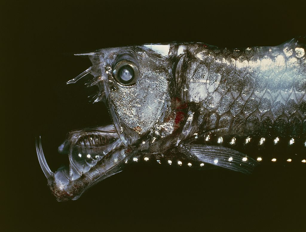 viperfish with its mouth wide open against a black background