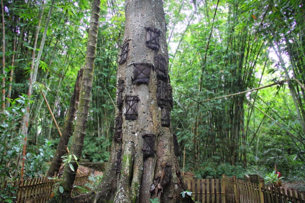 The Baby Trees of Indonesia