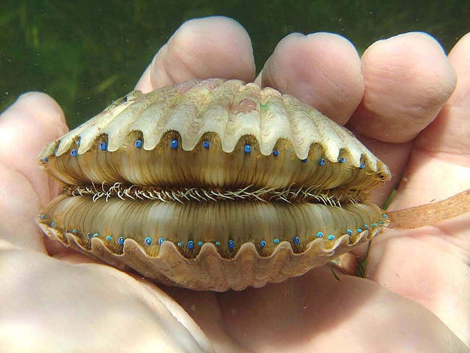 a scallop showing blue eyes and boney teeth