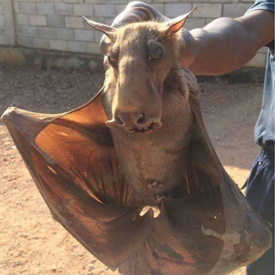 animal handler holding hammer head bat