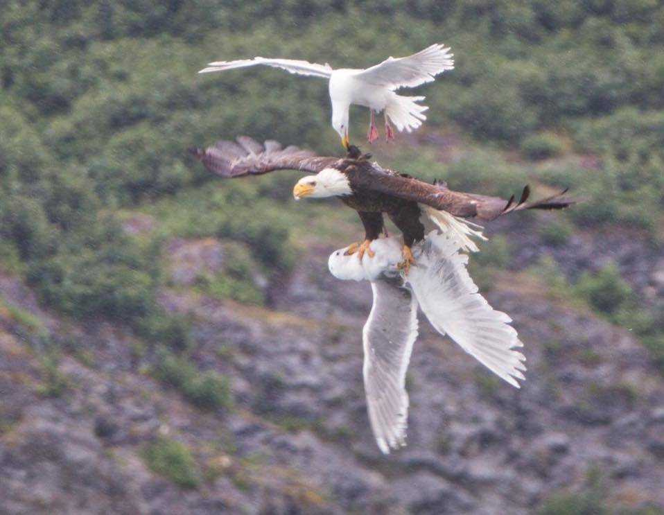 eagle flying with bird in its talons while being attacked by another bird