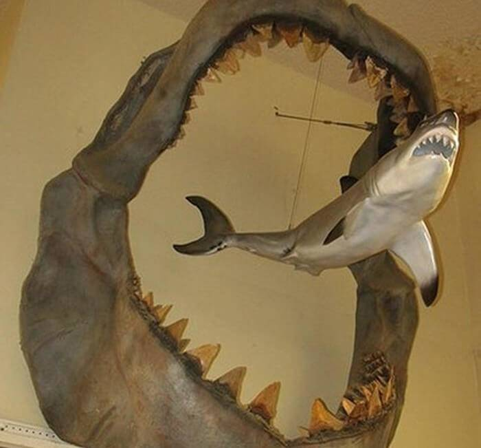 great white shark hung inside the jaws of a megalodon fossil