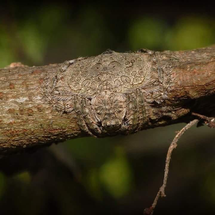 spider camouflaged by wrapping around tree