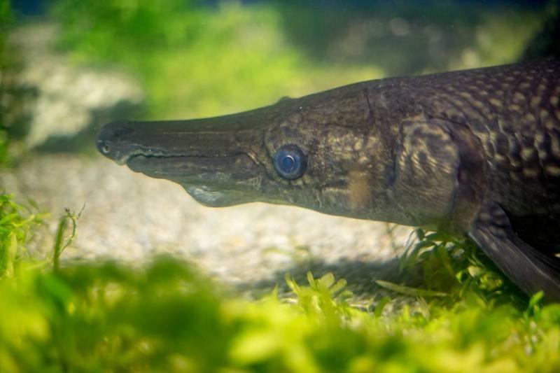 A close-up shows an alligator gar.