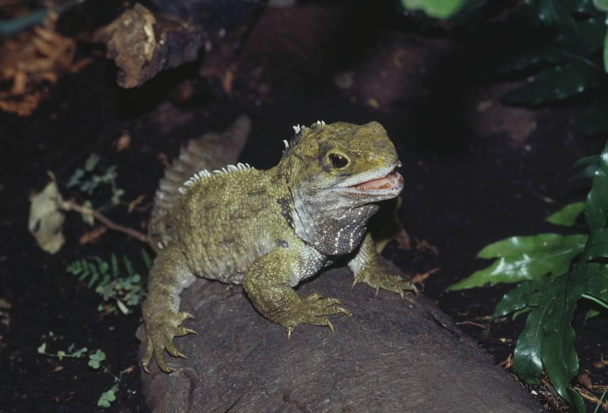 The tuatara lizard lives on New Zealand.