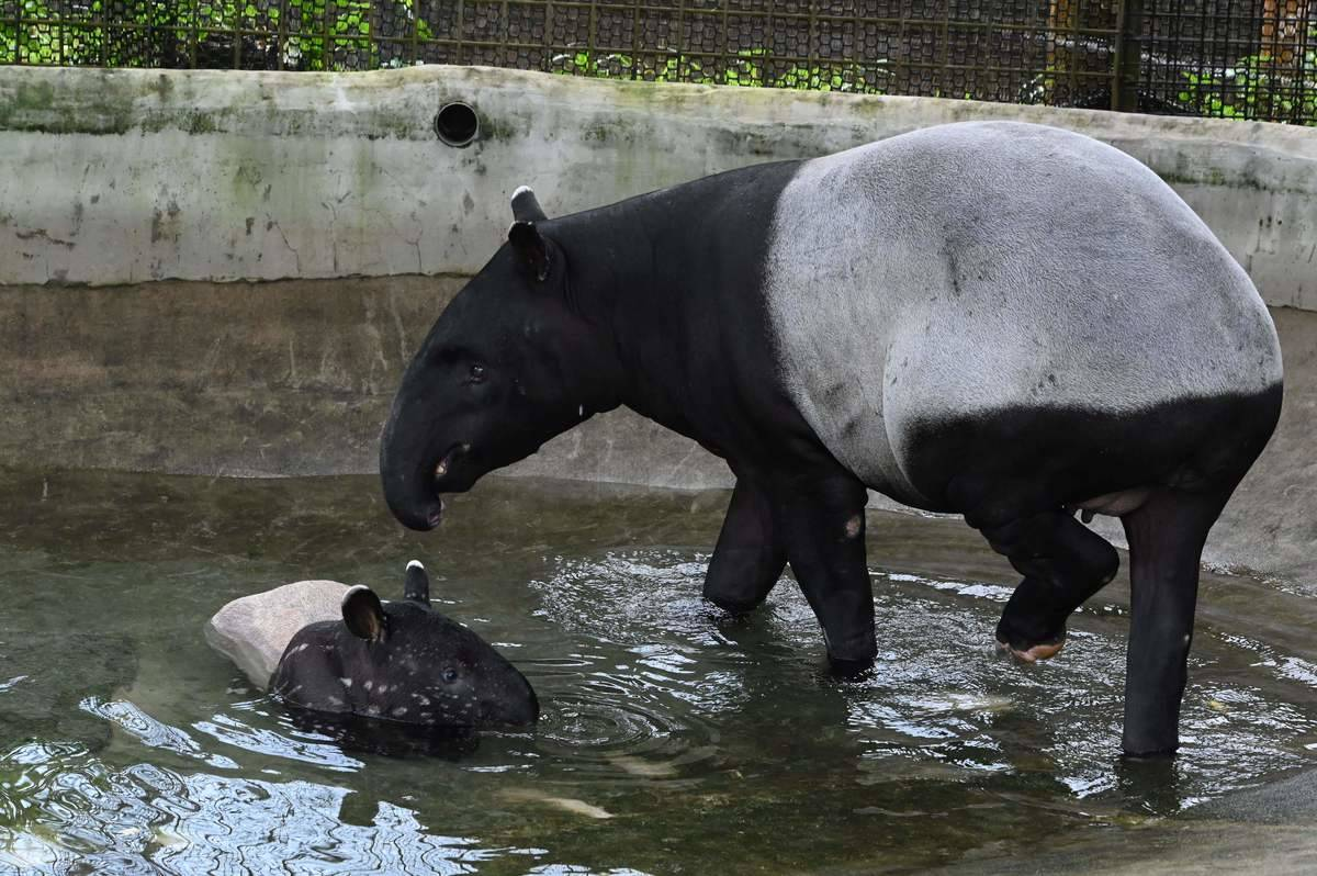 A Malayan tapir and her female calf play in the pool at a zoo.