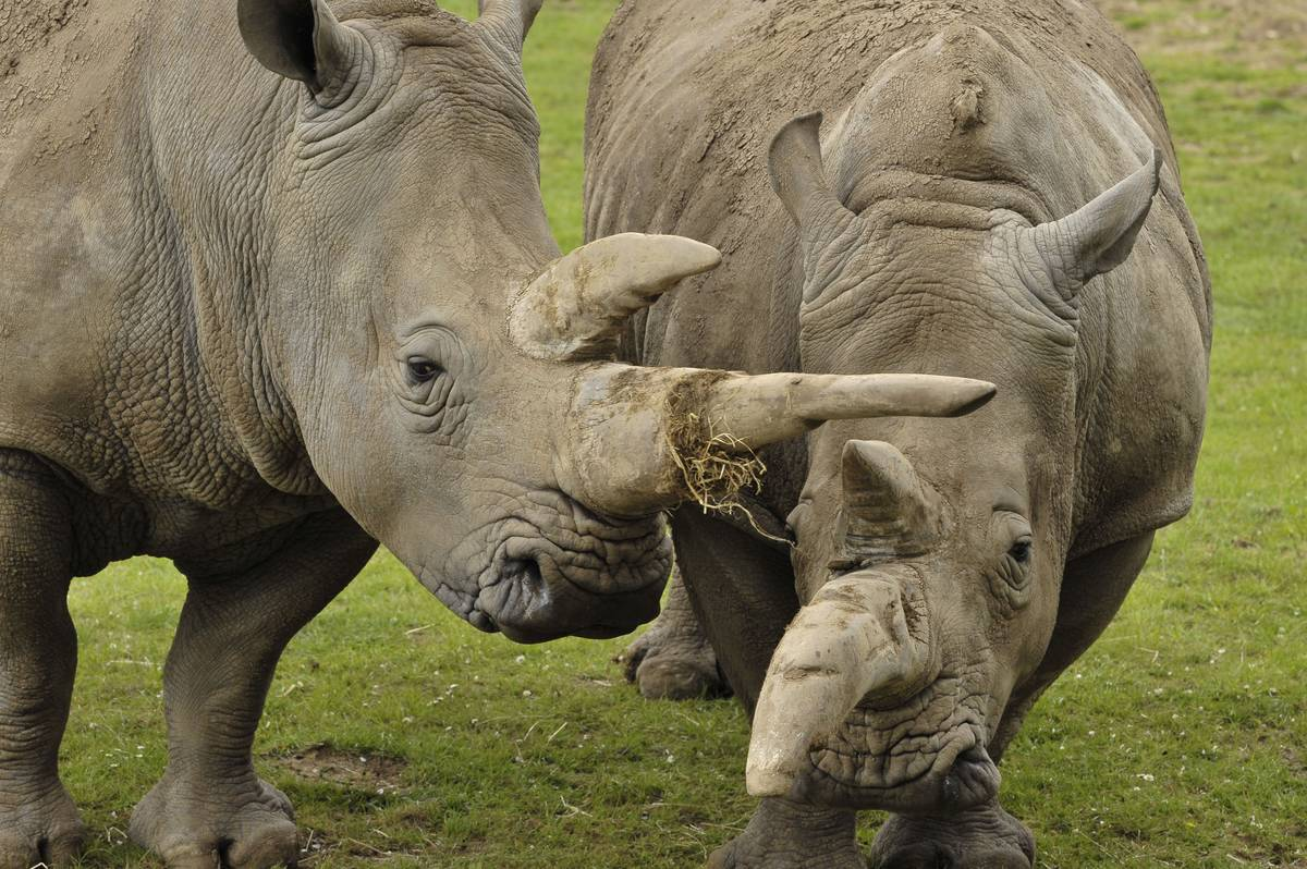 Two white rhinos graze at the Marwell Zoo.