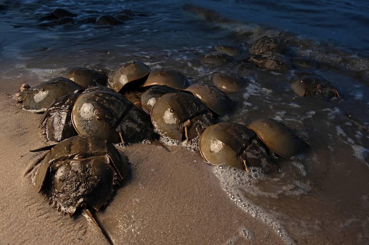 Horseshoe crabs pile up in an ocean.