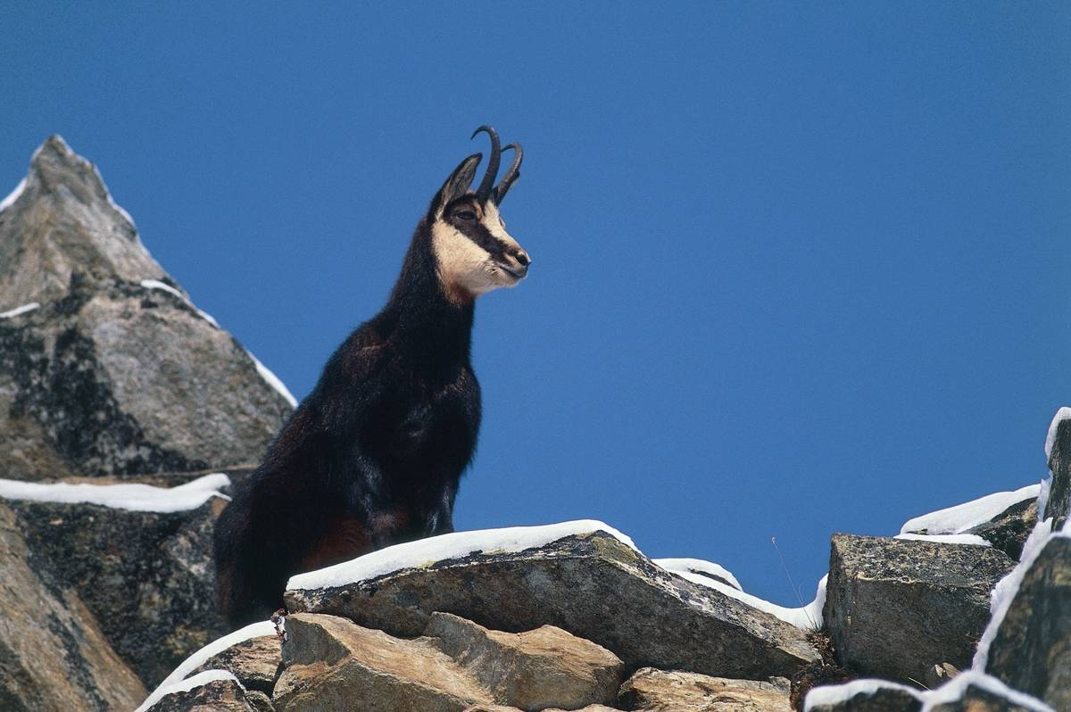 A chamois stands on a mountaintop.