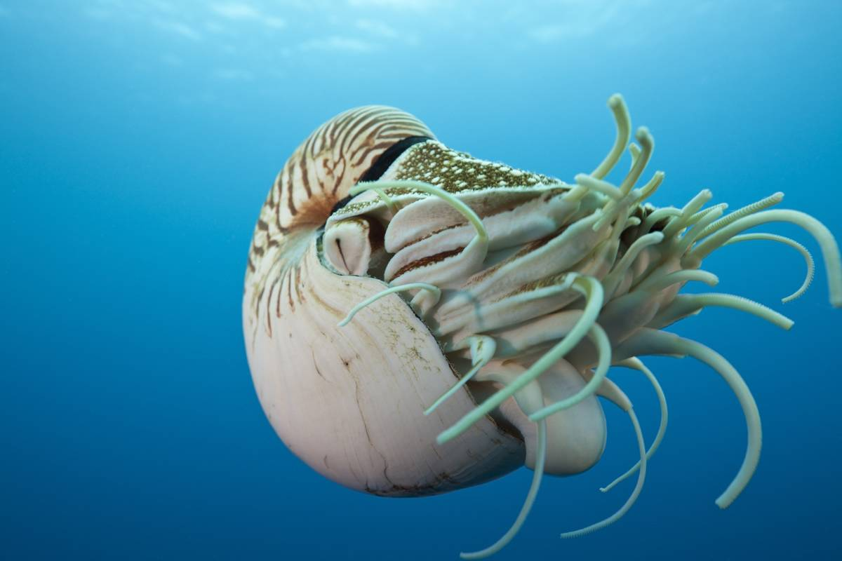 A chambered nautilus swims through the ocean.