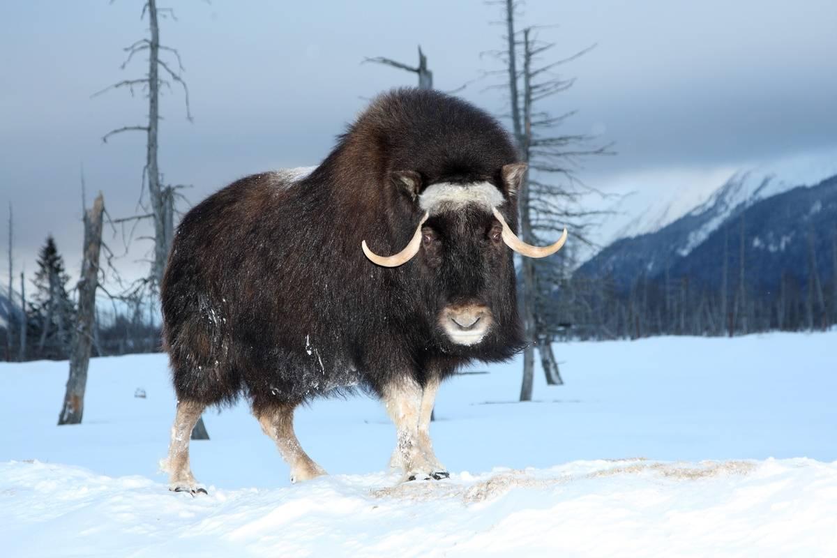 A musk ox wanders through the snowy mountainside of Alaska.