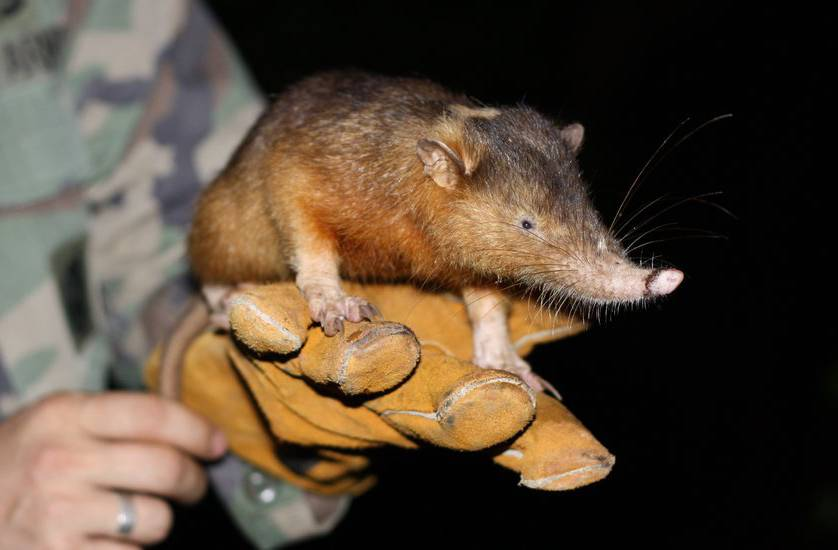 A person holds a Solenodon.