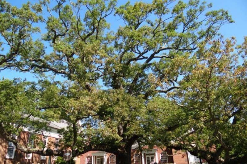 basking-ridge-oak-tree-67730-84317