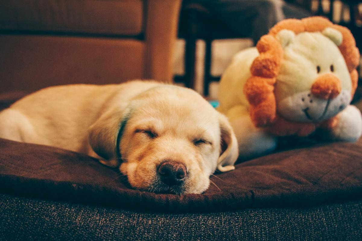 a puppy sleeping next to a lion dog toy
