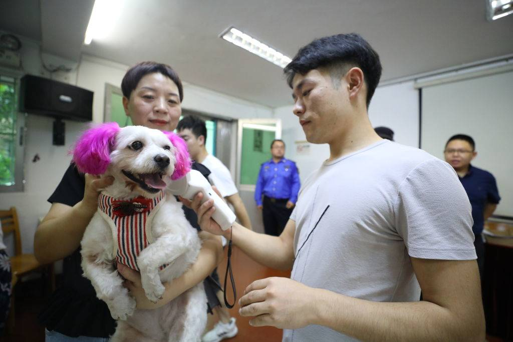 a white dog with pink ears getting a microchip