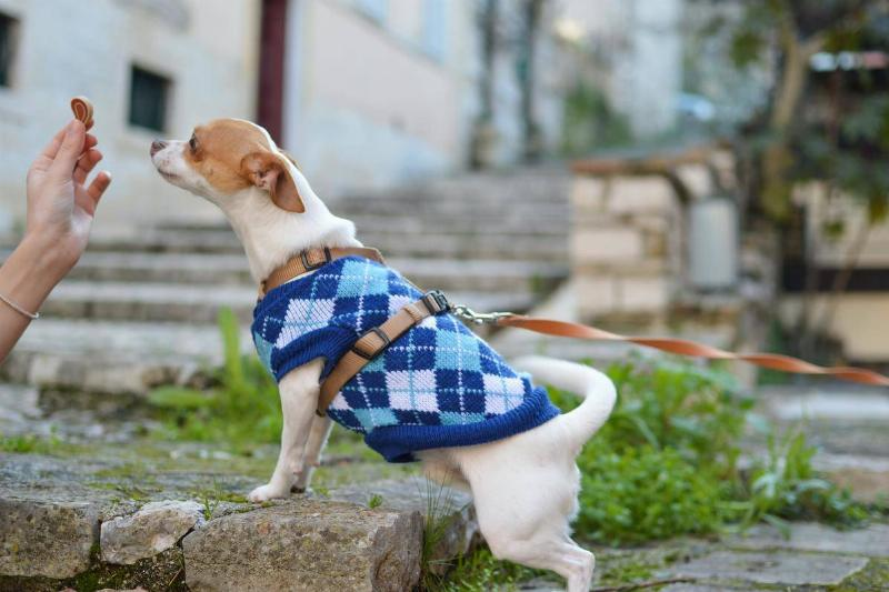 a small dog with a blue sweater being fed a treat