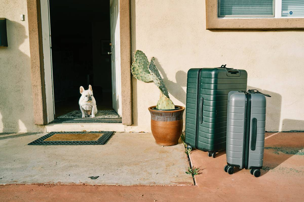a white french bulldog standing near suitcases and a cactus