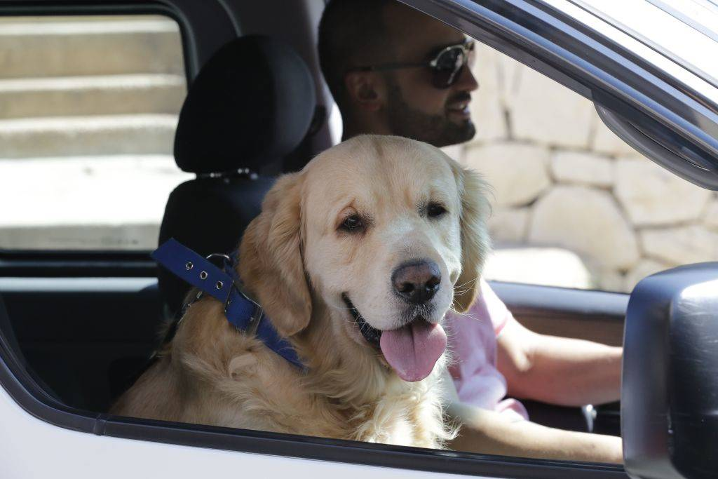 a senior dog riding in the car with the owner