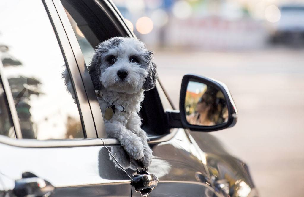 a dog looking out a car window