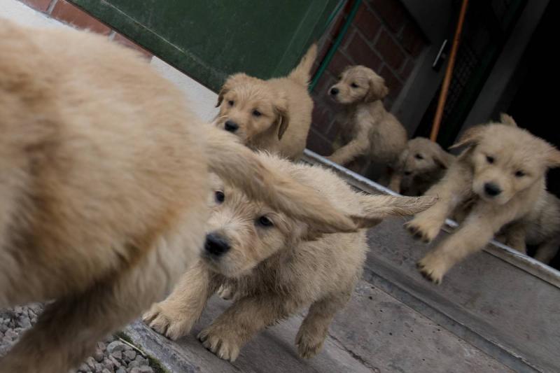 six puppies running around