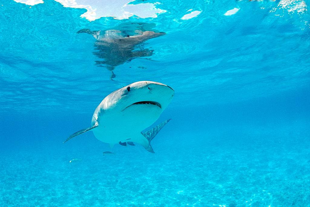 Picture of tiger shark