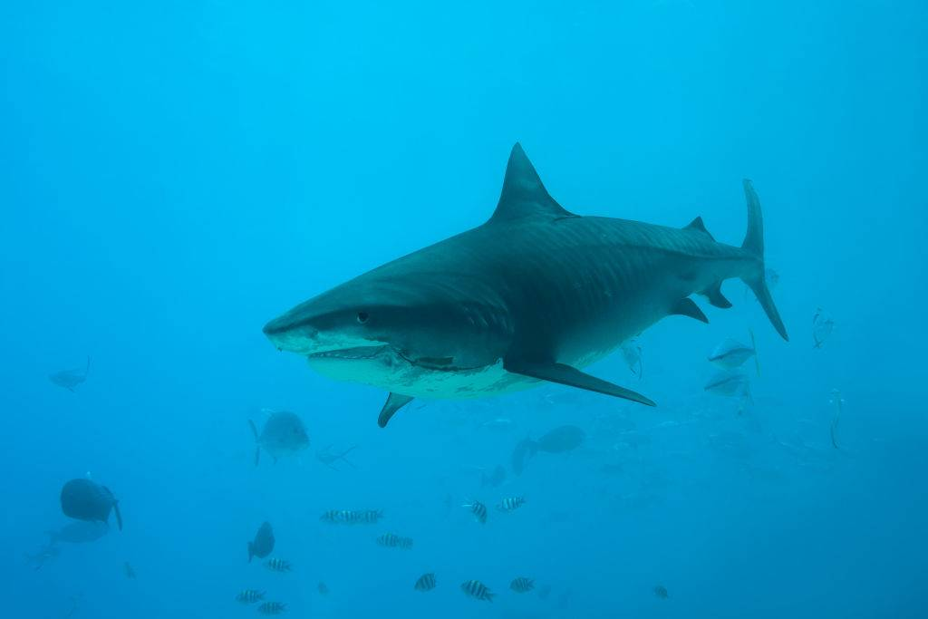 Picture of a tiger shark