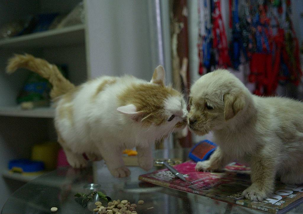 kitten hissing at a puppy