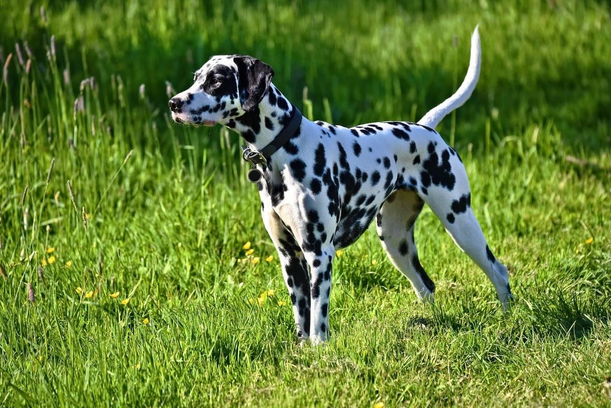 dalmation-dog-3382090_1920