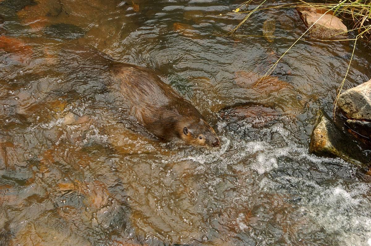 It Was A Bit Bigger Than A Beaver
