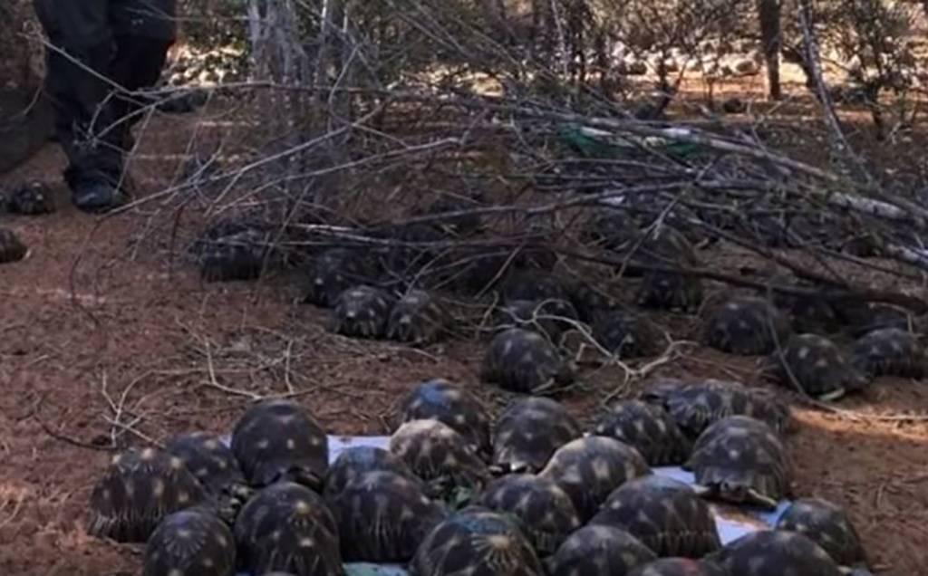 Radiated Tortoises in Madagascar