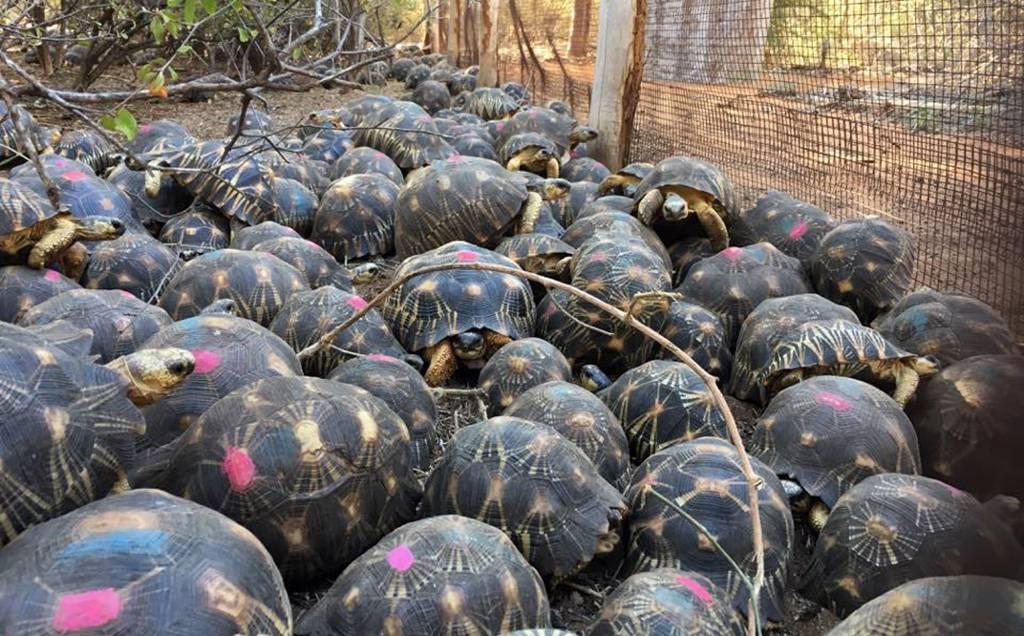 Radiated-tortoises-1-36593