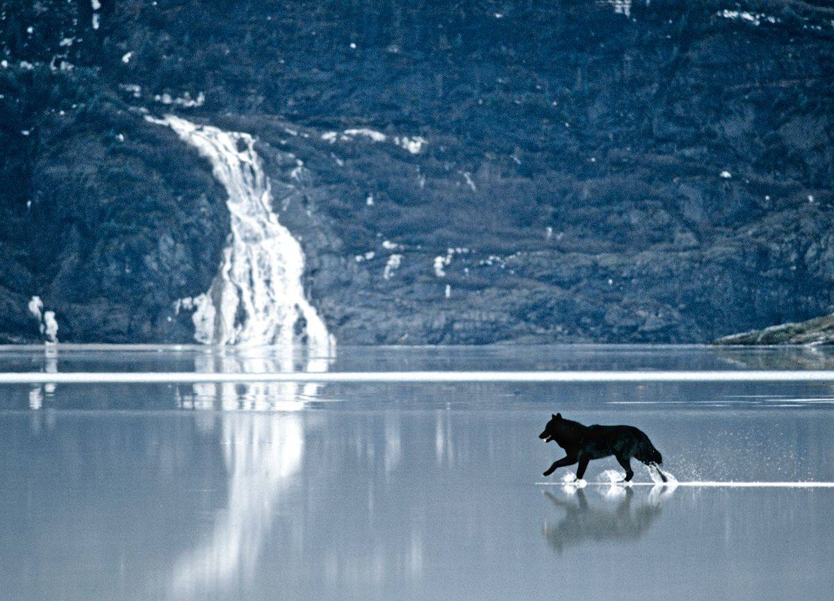 Romeo the wolf walks across shallow water.