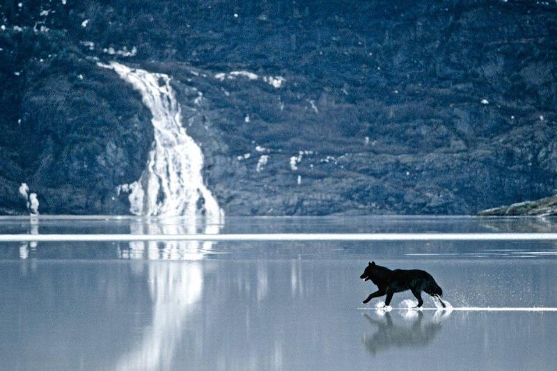 Romeo the wolf walks across shallow water.