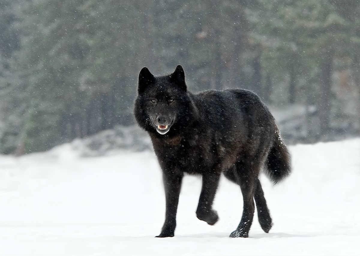 A black wolf walks through the snow.