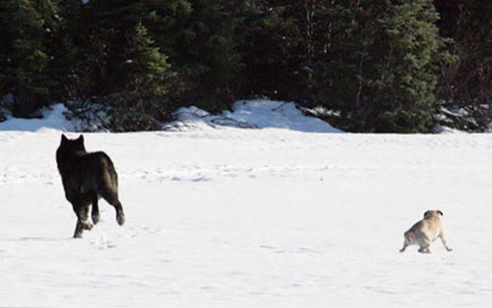 A black wolf plays with a yellow labrador.