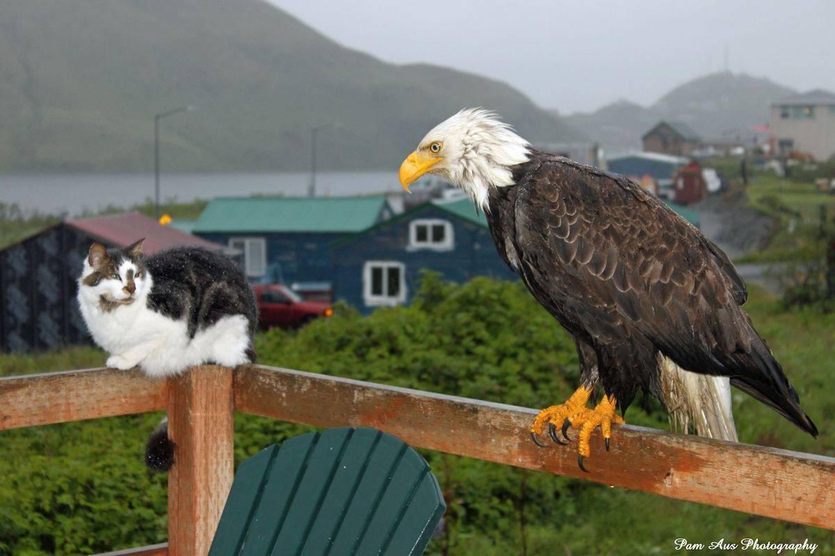 A bald eagle looks at a cat.