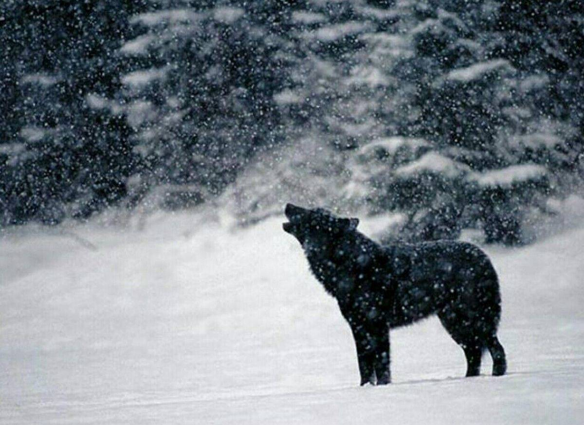 Romeo the black wolf howls in the snow.