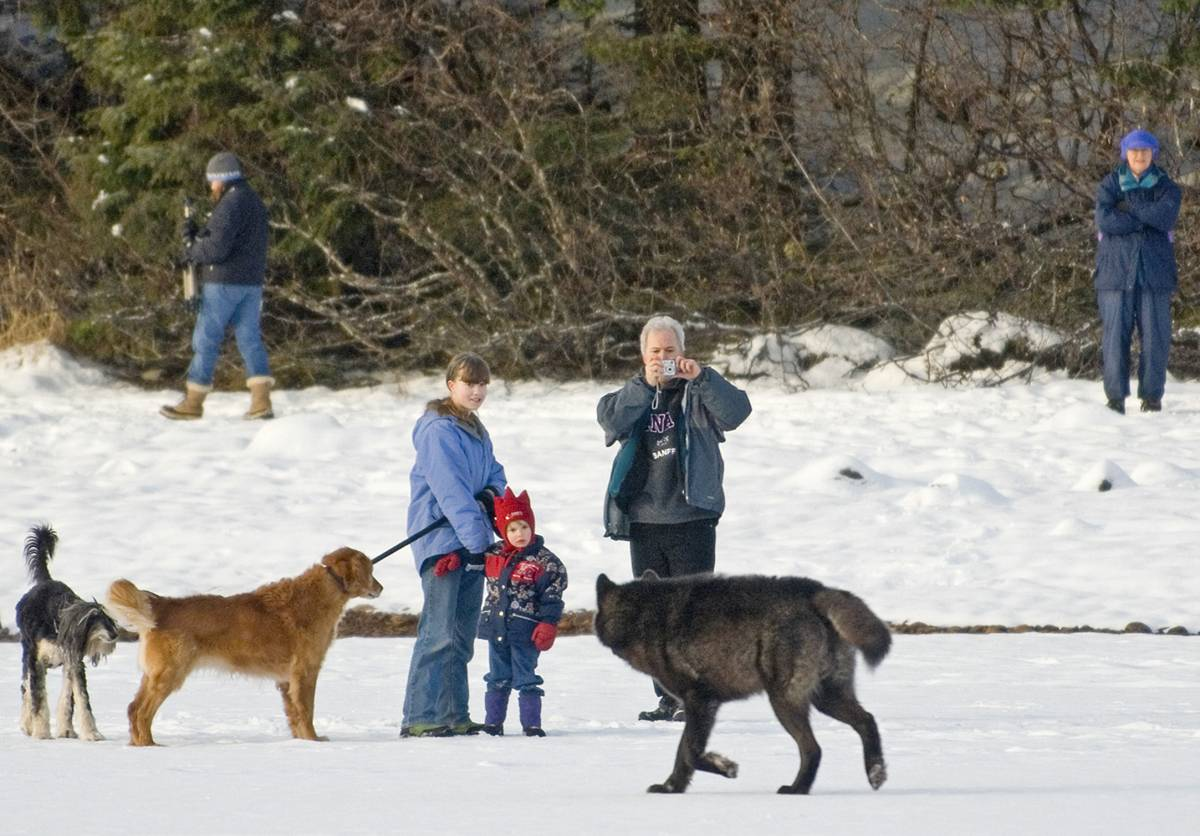 A family takes photos of Romeo the wolf who walks near them and their dogs.